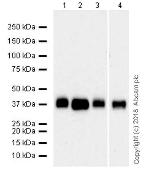 Western blot - Anti-Podoplanin / gp36 antibody [EPR22182] (ab236529)