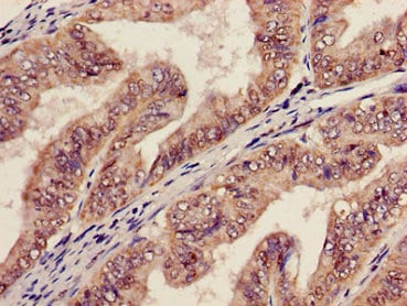 Immunohistochemistry (Formalin/PFA-fixed paraffin-embedded sections) - Anti-AGPAT5 antibody (ab236541)