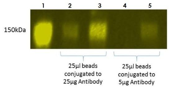 Rabbit IgG immunoprecipitation and detection by Western blot.