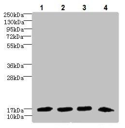 Western blot - Anti-Dynein light chain antibody (ab236594)