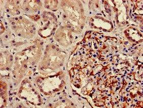 Immunohistochemistry (Formalin/PFA-fixed paraffin-embedded sections) - Anti-DPM1 antibody (ab236604)