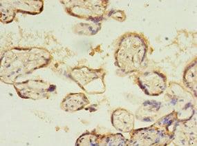 Immunohistochemistry (Formalin/PFA-fixed paraffin-embedded sections) - Anti-SLC13A4/SUT1 antibody (ab236619)