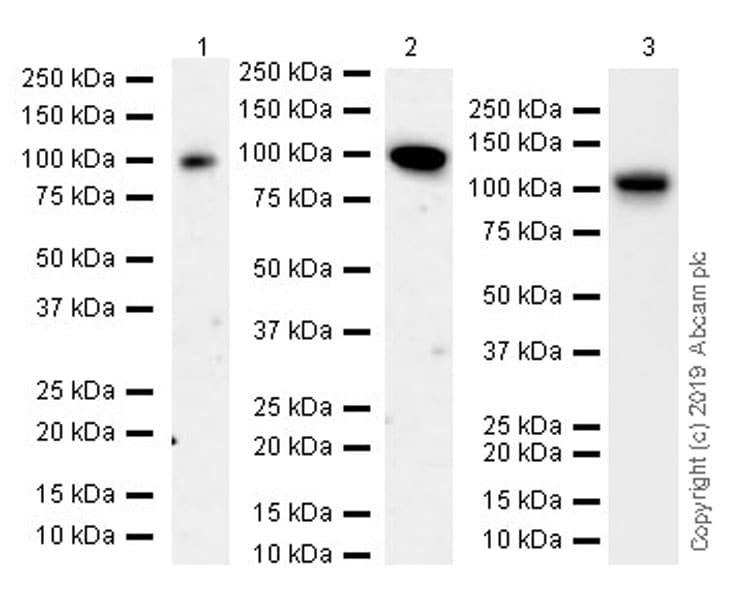 Western blot - Anti-Nup107 antibody [EPR22877-21] (ab236634)