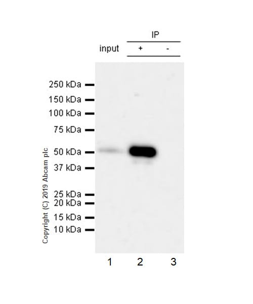 Immunoprecipitation - Anti-RUNX2 antibody [EPR22858-106] (ab236639)
