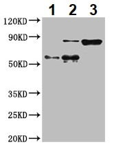 Immunoprecipitation - Anti-Calpain 2 antibody (ab236650)