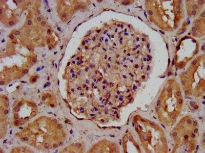 Immunohistochemistry (Formalin/PFA-fixed paraffin-embedded sections) - Anti-Agrin antibody (ab236652)