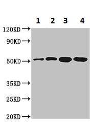 Western blot - Anti-ALDH3B1 antibody (ab236673)