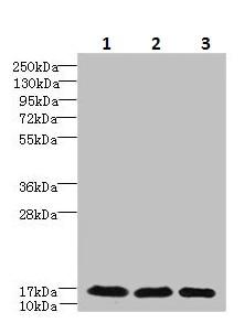 Western blot - Anti-C3orf18 antibody (ab236674)