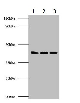 Western blot - Anti-ERGIC3 antibody (ab236723)