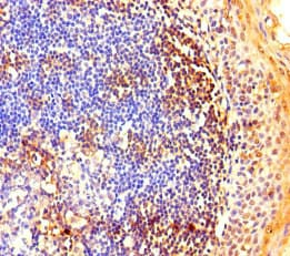 Immunohistochemistry (Formalin/PFA-fixed paraffin-embedded sections) - Anti-NOP58 antibody (ab236724)