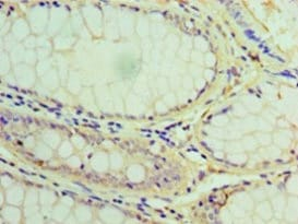 Immunohistochemistry (Formalin/PFA-fixed paraffin-embedded sections) - Anti-Lysosomal acid lipase/LAL antibody (ab236736)