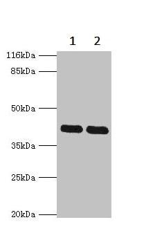 Western blot - Anti-MAPK 13 antibody (ab236738)