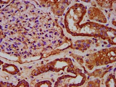 Immunohistochemistry (Formalin/PFA-fixed paraffin-embedded sections) - Anti-IKAP/p150 antibody (ab236740)