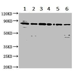 Western blot - Anti-LETM1 antibody (ab236743)