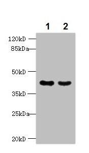 Western blot - Anti-MAS1L antibody (ab236754)