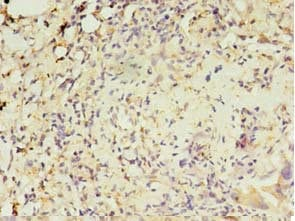 Immunohistochemistry (Formalin/PFA-fixed paraffin-embedded sections) - Anti-MAS1L antibody (ab236754)