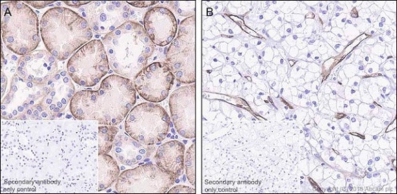 Immunohistochemistry (Formalin/PFA-fixed paraffin-embedded sections) - Anti-Insulin Receptor beta antibody [EPR22167] - BSA and Azide free (ab236764)