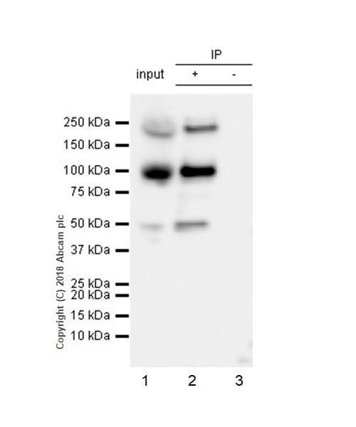 Immunoprecipitation - Anti-Insulin Receptor beta antibody [EPR22167] - BSA and Azide free (ab236764)