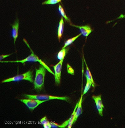 Immunocytochemistry/ Immunofluorescence - Anti-Prostaglandin E Receptor EP2/PTGER2 antibody [EPR8030(B)] - BSA and Azide free (ab236779)