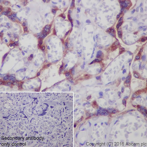 Immunohistochemistry (Formalin/PFA-fixed paraffin-embedded sections) - Anti-Prostaglandin E Receptor EP2/PTGER2 antibody [EPR8030(B)] - BSA and Azide free (ab236779)