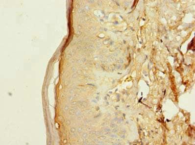 Immunohistochemistry (Formalin/PFA-fixed paraffin-embedded sections) - Anti-LR8 antibody (ab236860)
