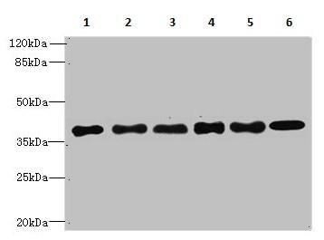 Western blot - Anti-TMEM68 antibody (ab236862)