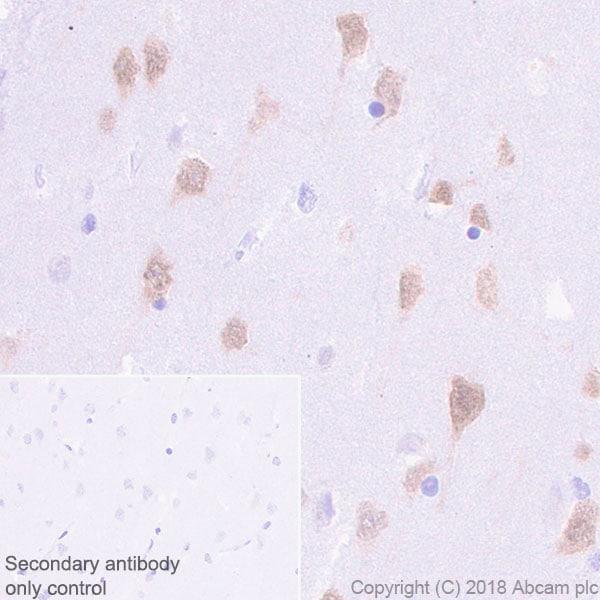Immunohistochemistry (Formalin/PFA-fixed paraffin-embedded sections) - Anti-NeuN antibody [EPR21902] (ab236869)