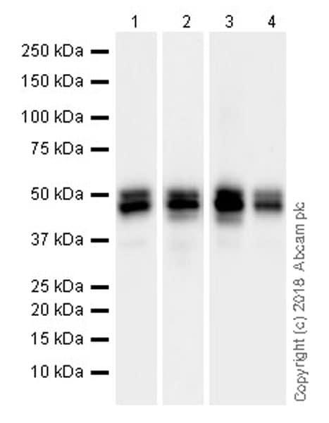 Western blot - Anti-NeuN antibody [EPR21902] (ab236869)