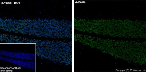 Immunohistochemistry (Frozen sections) - Anti-NeuN antibody [EPR21906] (ab236870)