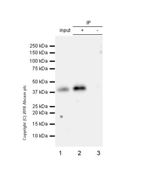 Immunoprecipitation - Anti-PBK/SPK antibody [EPR21983] (ab236872)