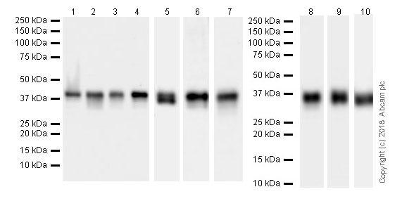 Western blot - Anti-PBK/SPK antibody [EPR21983] (ab236872)
