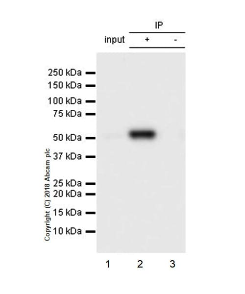 Immunoprecipitation - Anti-Visfatin antibody [EPR21984] (ab236873)