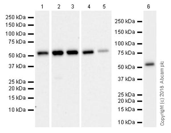 Western blot - Anti-Visfatin antibody [EPR21980] (ab236874)