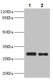 Western blot - Anti-PSME1 antibody (ab236877)