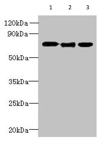 Western blot - Anti-SVCT1 antibody (ab236878)