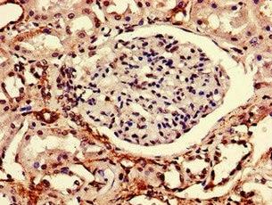 Immunohistochemistry (Formalin/PFA-fixed paraffin-embedded sections) - Anti-RTP3 antibody (ab236886)
