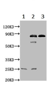 Immunohistochemistry (Formalin/PFA-fixed paraffin-embedded sections) - Anti-ThrRS antibody (ab236903)