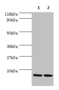 Western blot - Anti-RPL27/RPL27A antibody (ab236906)
