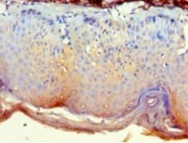 Immunohistochemistry (Formalin/PFA-fixed paraffin-embedded sections) - Anti-Nck-2 antibody (ab236913)