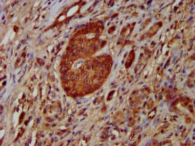 Immunohistochemistry (Formalin/PFA-fixed paraffin-embedded sections) - Anti-PM5 antibody (ab236915)