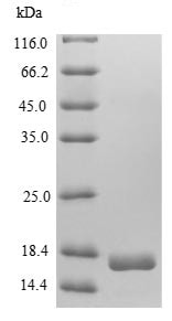 SDS-PAGE - Recombinant Cow Pregnancy associated protein bPAP (Tagged) (ab236922)