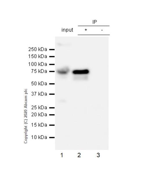 Immunoprecipitation - Anti-Human IgM antibody [EPR5539-65-4] - BSA and Azide free (ab236941)