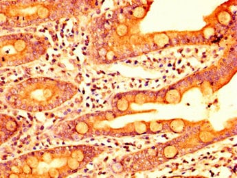 Immunohistochemistry (Formalin/PFA-fixed paraffin-embedded sections) - Anti-HEXO antibody (ab236945)