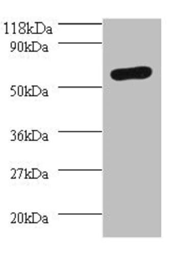 Western blot - Anti-SEPSECS antibody (ab236956)