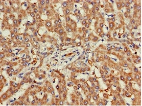 Immunohistochemistry (Formalin/PFA-fixed paraffin-embedded sections) - Anti-Nicotinic Acetylcholine Receptor beta/CHRNB1 antibody (ab236959)