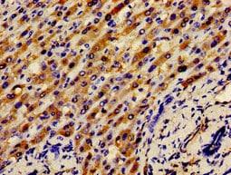 Immunohistochemistry (Formalin/PFA-fixed paraffin-embedded sections) - Anti-Apo-H antibody (ab236960)