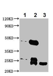 Immunoprecipitation - Anti-Mob1A antibody (ab236969)