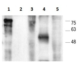 Western blot - Anti-TOX1 antibody [NAN448B] (ab237009)