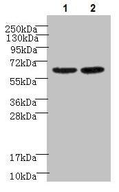 Western blot - Anti-NELF-B antibody (ab237027)