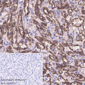 Immunohistochemistry (Formalin/PFA-fixed paraffin-embedded sections) - Anti-beta 2 Microglobulin antibody [EPR21752-214] - BSA and Azide free (ab237032)